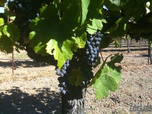 Sonoma County grapes - ZagLeft