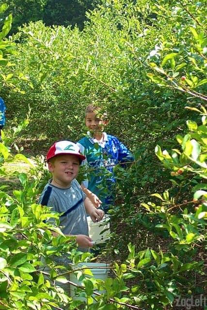 Blueberry Picking in Texas | ZagLeft